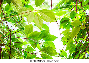Green leaves in bright light
