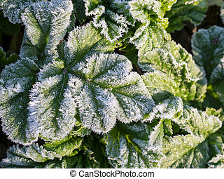 leaves in hoarfrost after freezing