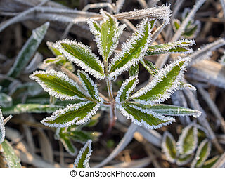 green leaves in hoarfrost