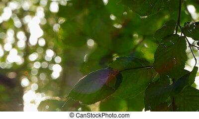 green leaves in soft sunlight - green hazelnut leaves sway...