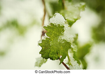 Green leaves in the snow, snow in spring, Snow and flowers, Mint covered with frost, close-up