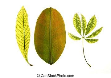 Green leaves in vibrant green, medlar, ceiba, ficus, white studio background