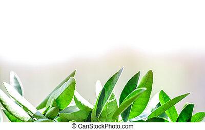 green leaves lemon pot
