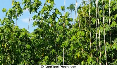 Green leaves of a bamboo on long trunks sway in the wind against the blue sky