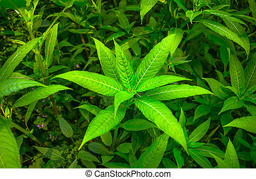 Green leaves of a flower in the jungle