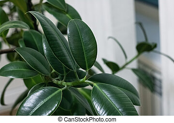 Green leaves of a home plant closeup