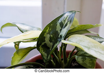 Green leaves of a home plant on a windowsill