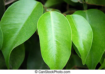 Green leaves of a rubber plant