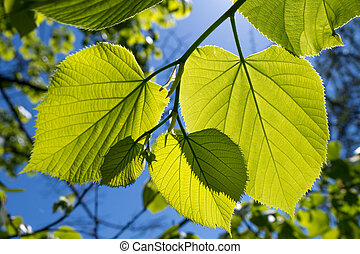 green leaves of a tree in spring