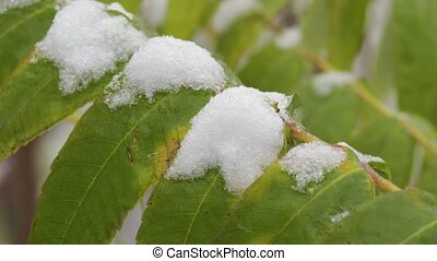 Green leaves of a tree in the snow, close-up