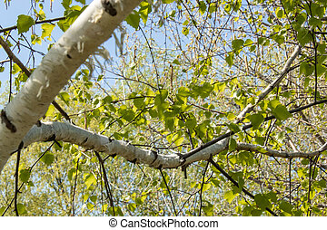 Green leaves of birch against the blue sky.