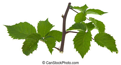Green leaves of blackberry isolated on a white background close-up.