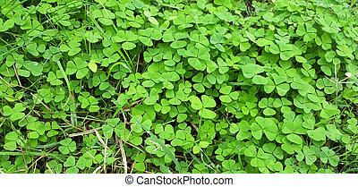 Green leaves of clover