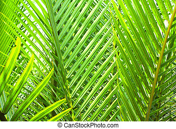 Green leaves of coconut palm