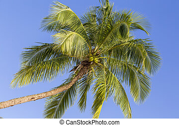 Green leaves of coconut palm tree against the blue sky. Nature travel concept