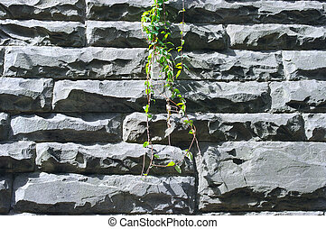 Green leaves of creeper plant on stone wall