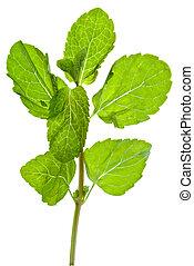 green leaves of fresh mint