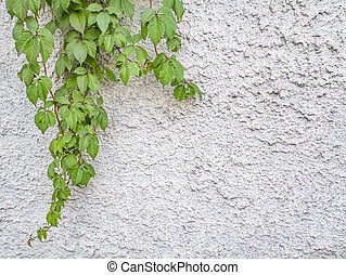 Green leaves of grapes on a white wall.