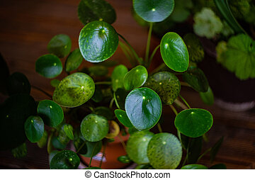 Green leaves of home plant