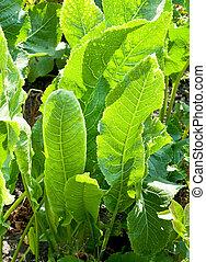 green leaves of horseradish plant