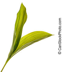 Green leaves of lily of the valley flowers. Isolated on white