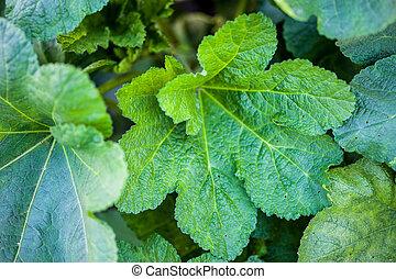 Green leaves of malva