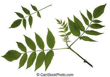 Green leaves of maple, ash-leaved Maple, Acer negundo, trash maple, shoot apex