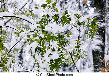 green leaves of maple tree covered with first white fluffy snow