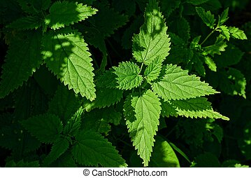 Green leaves of nettle in the sunlight