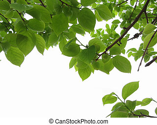 Green leaves of persimmon tree on white background