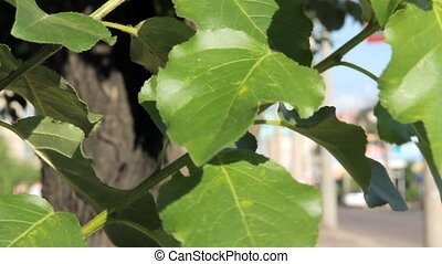 Green leaves of poplar swaying in the wind