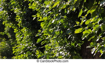 Green leaves of poplar tree swaying in the wind