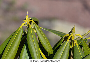 rhododendron in spring closeup