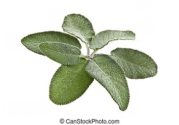 green leaves of sage, close up on a white background