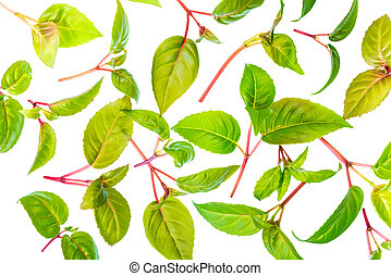 green leaves of seedling fuchsia is isolated on white background, closeup