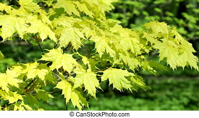Green leaves of the Canadian maple shake on a wind