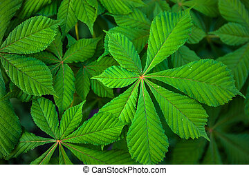 Green leaves of the chestnut tree