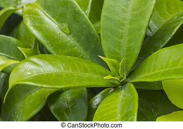 Green leaves of the flower Allamanda cathartica