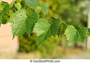 green leaves of the grape in nature background