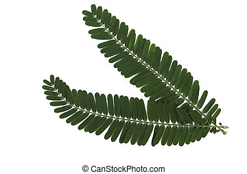 green leaves of the horse tamarind plant, the lead tree