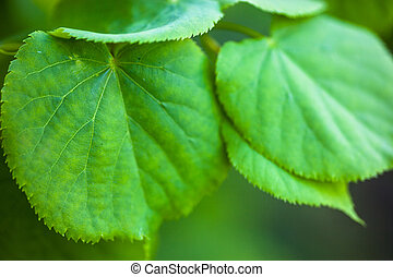 Green leaves of the lime tree