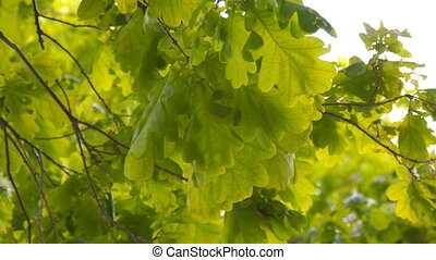 Green leaves of the oak are swaying in the wind - The green...