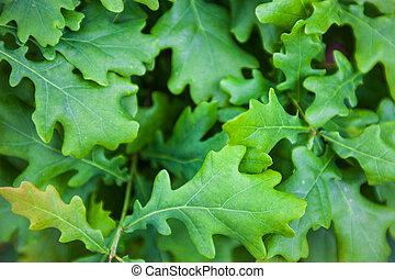 Green leaves of the oak tree