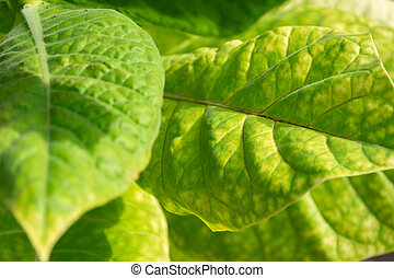 Green leaves of tobacco on a bush in the field.
