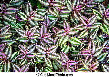 Green leaves of Tradescantia zebrina background