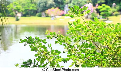 green leaves of tree in park with pond