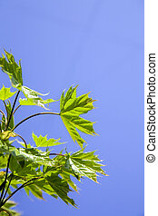 green leaves of tree on a background clean blue sky