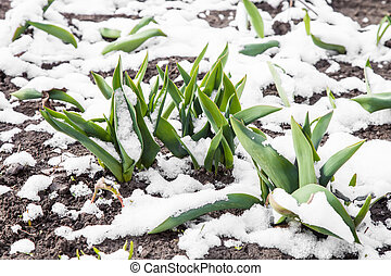 Green leaves of tulips under snow