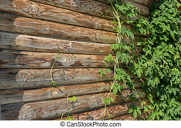 green leaves of wild grapes on a log wall of the house