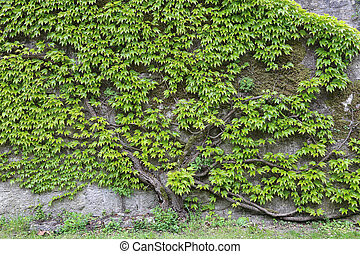 Green leaves of wild grapes weaving on a stone wall